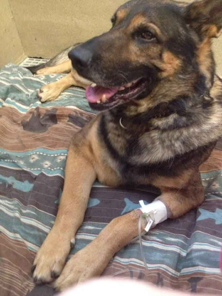 According to the K9 Kota Facebook page, this photo was taken just before Kota's surgery.